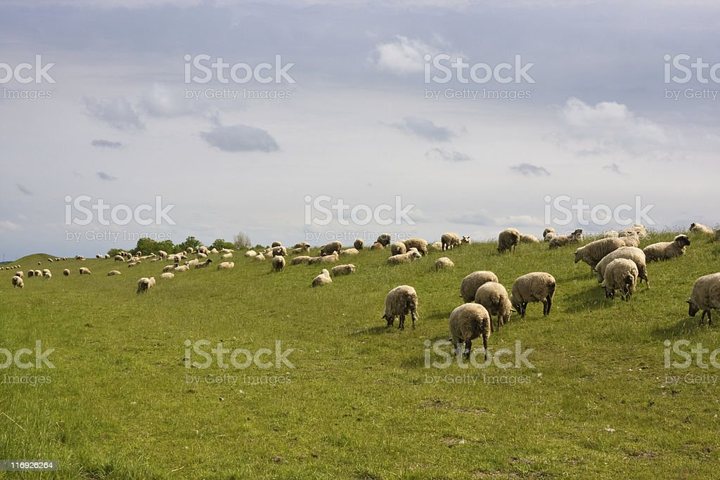 sheep world royalty-free stock photo
