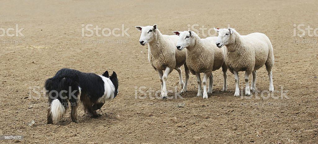 Sheepdog and the Sheep stock photo