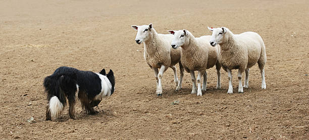 Sheepdog and the Sheep  herding stock pictures, royalty-free photos & images