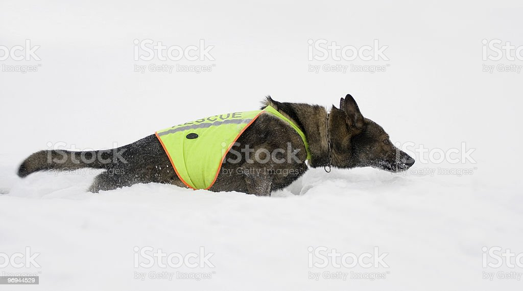 sheepdog from rescue team royalty-free stock photo