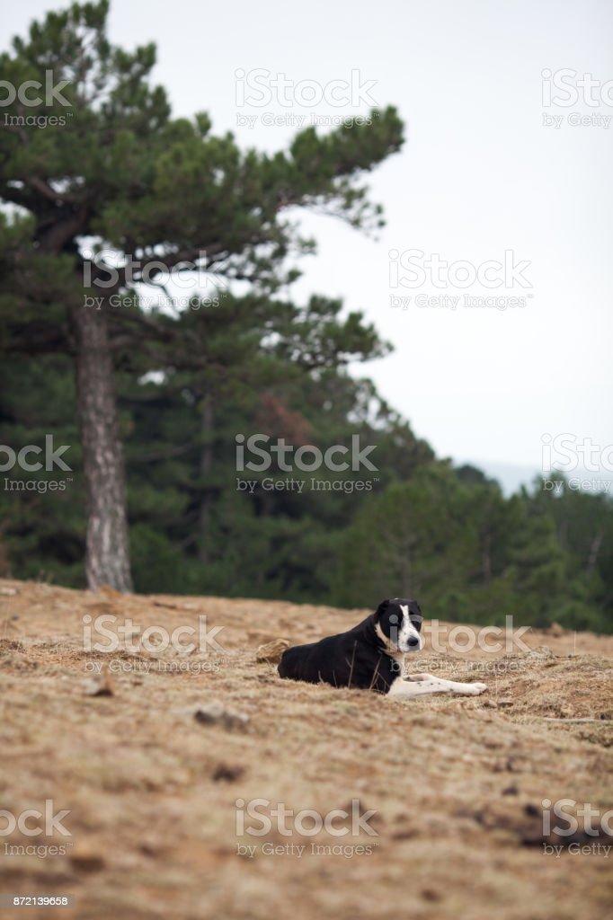 Sheepdog in mountain stock photo