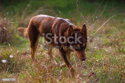 An Australian sheepdog.