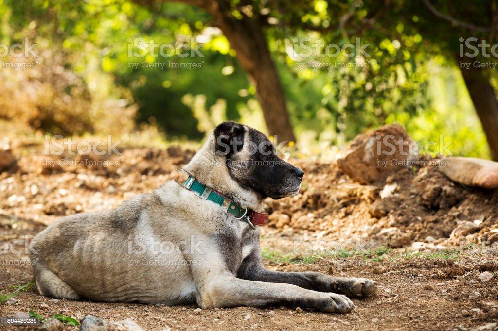 sheepdog stock photo