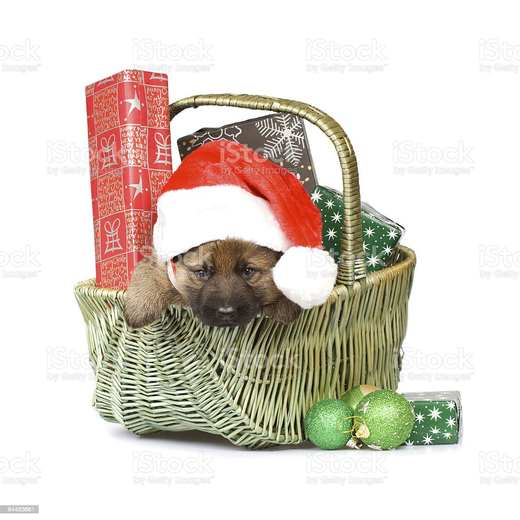 sheepdog puppy in basket with Christmas gifts royalty-free stock photo