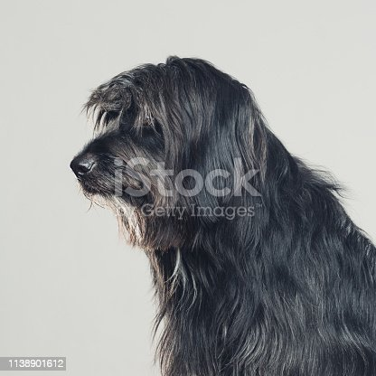 Close up portrait of cute big sheepdog against gray background. Dark grey catalan sheepdog Gos d'atura looking away on profile view. Sharp focus on eyes. Square studio portrait from DSLR camera.