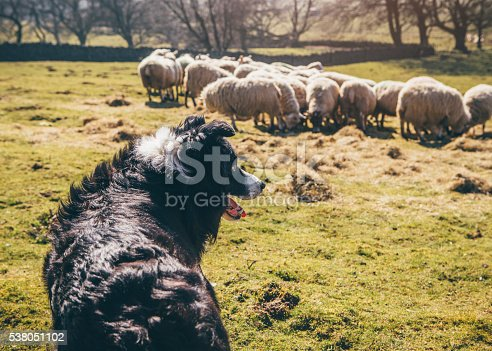 Border-Collie sheepdog watching over a flock of sheep in a field.
