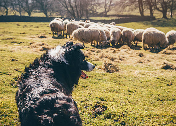 Sheepdog Watching Over Sheep in a Field Border-Collie sheepdog watching over a flock of sheep in a field. herding stock pictures, royalty-free photos & images