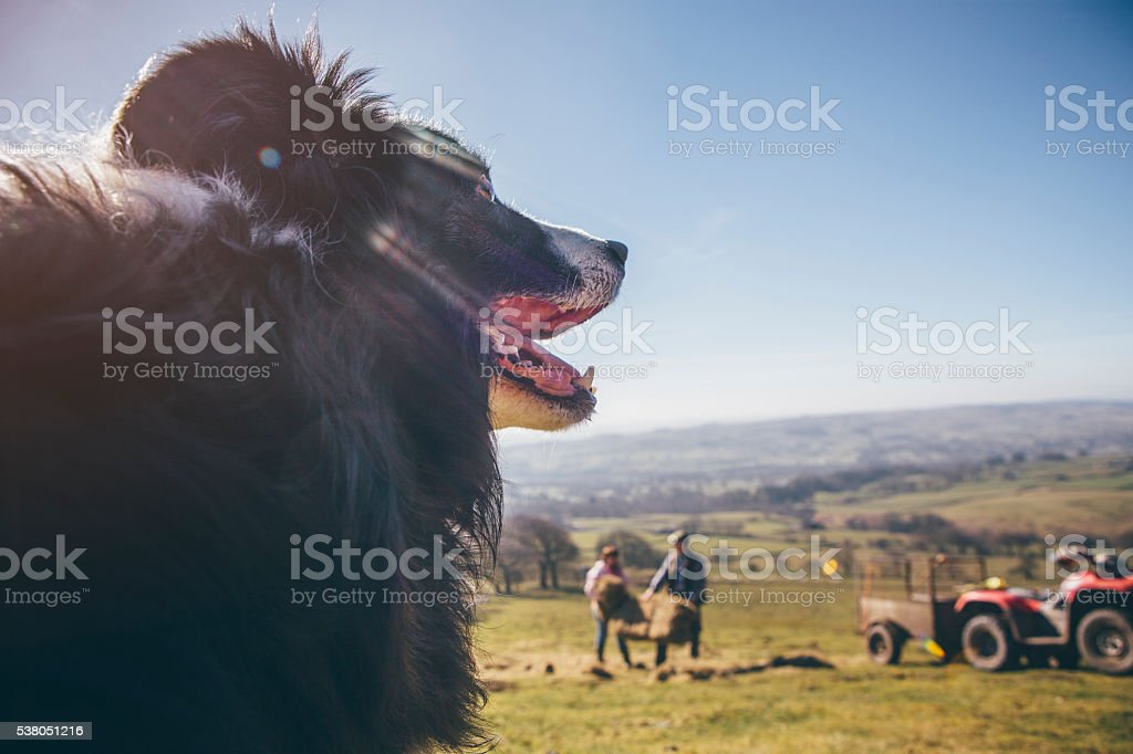 Sheepdog Watching Over Sheep in a Field stock photo