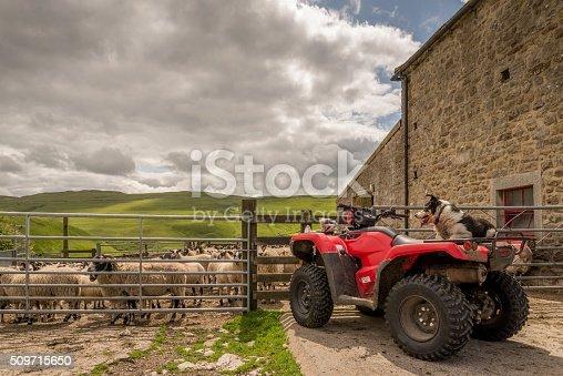 istock Sheepdog watching sheep on quad bike 509715650