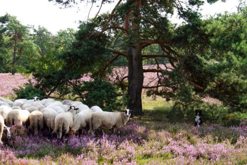 Sheepdog watching the herd