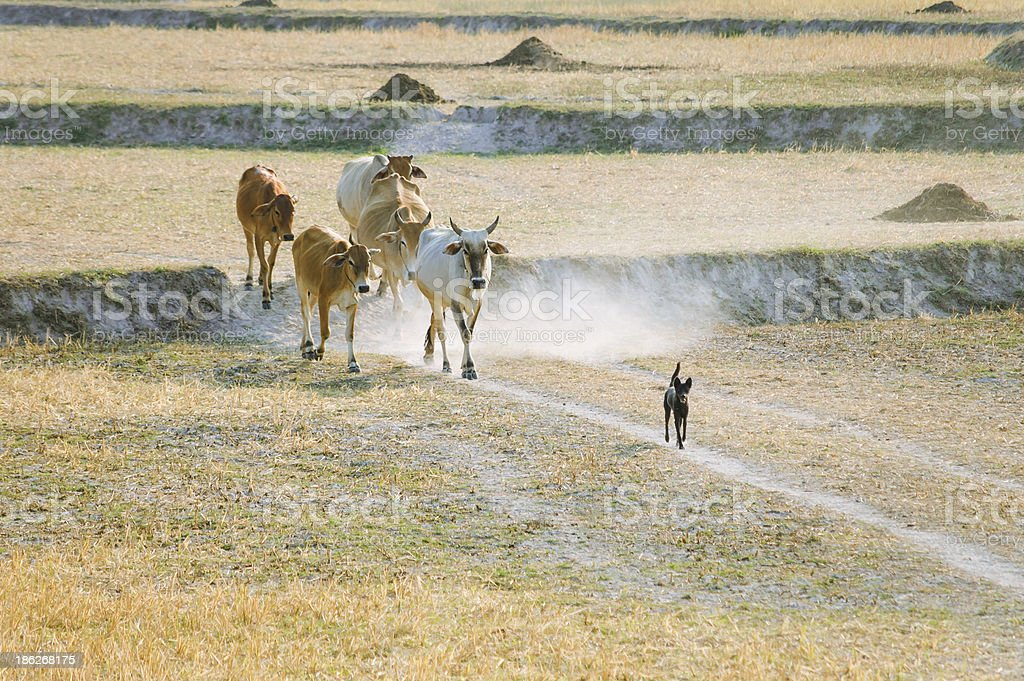 Sheepdog with cows going home in the dust royalty-free stock photo