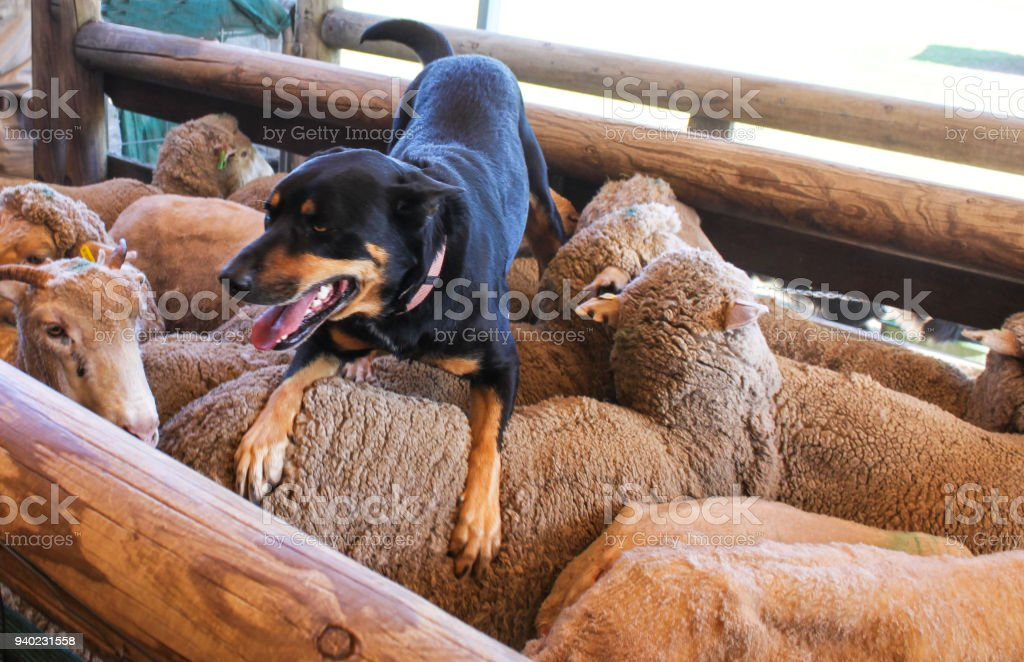 A sheepdog with tongue hanging out rests on the back of the sheep he just coralled in wooden pen stock photo