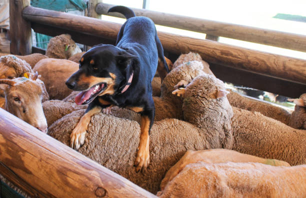 A sheepdog with tongue hanging out rests on the back of the sheep he just coralled in wooden pen A sheepdog with tongue hanging out rests on the back of the sheep he just coralled in wooden pen herding stock pictures, royalty-free photos & images