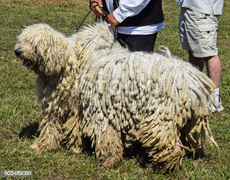 Sheepdogs at the dog show