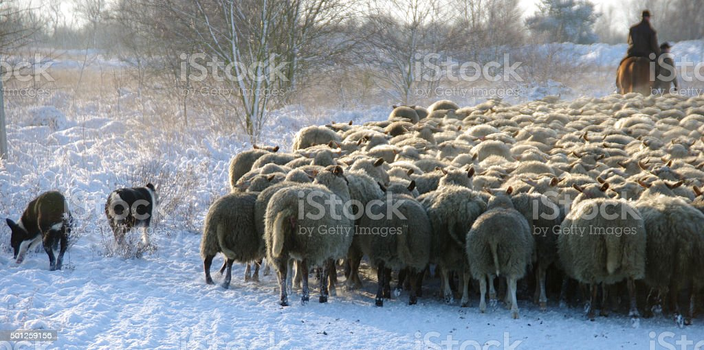 Sheepdogs in action stock photo