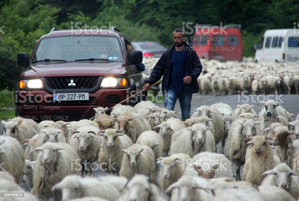 Sheepherder herding sheet on a congested mountain road stock photo