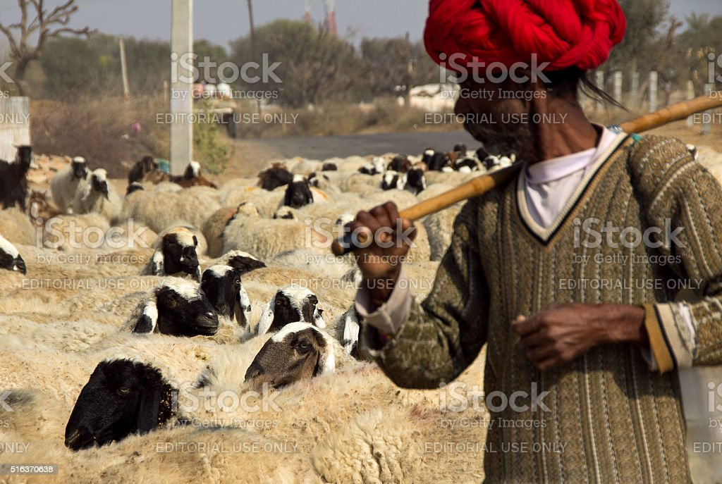 sheepherder takes his flock across the road stock photo