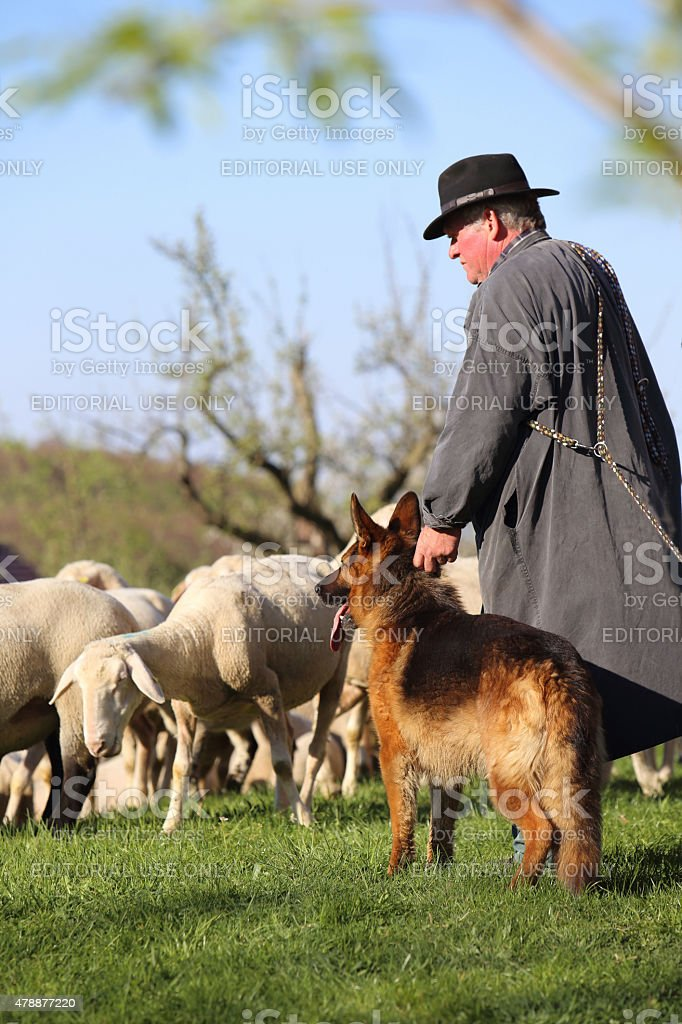sheepherder with his dog stock photo