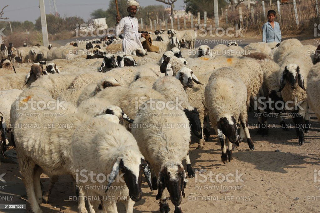 sheepherders guide their flock across the road stock photo