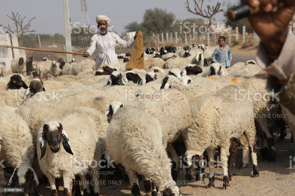 sheepherders take their flock across the road stock photo