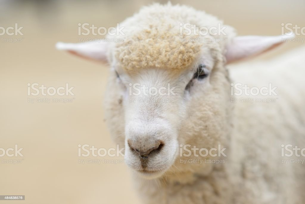 sheepish stock photo more pictures of 2015 istock