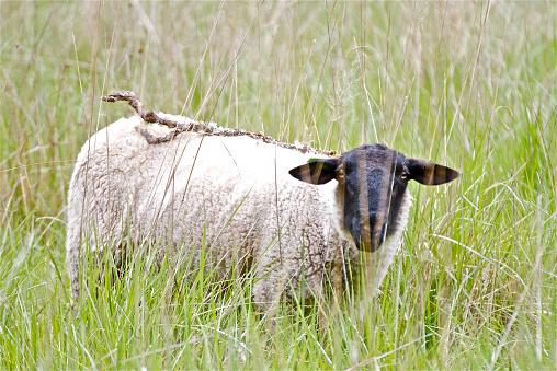 Sheep,Lamb,goat,ram