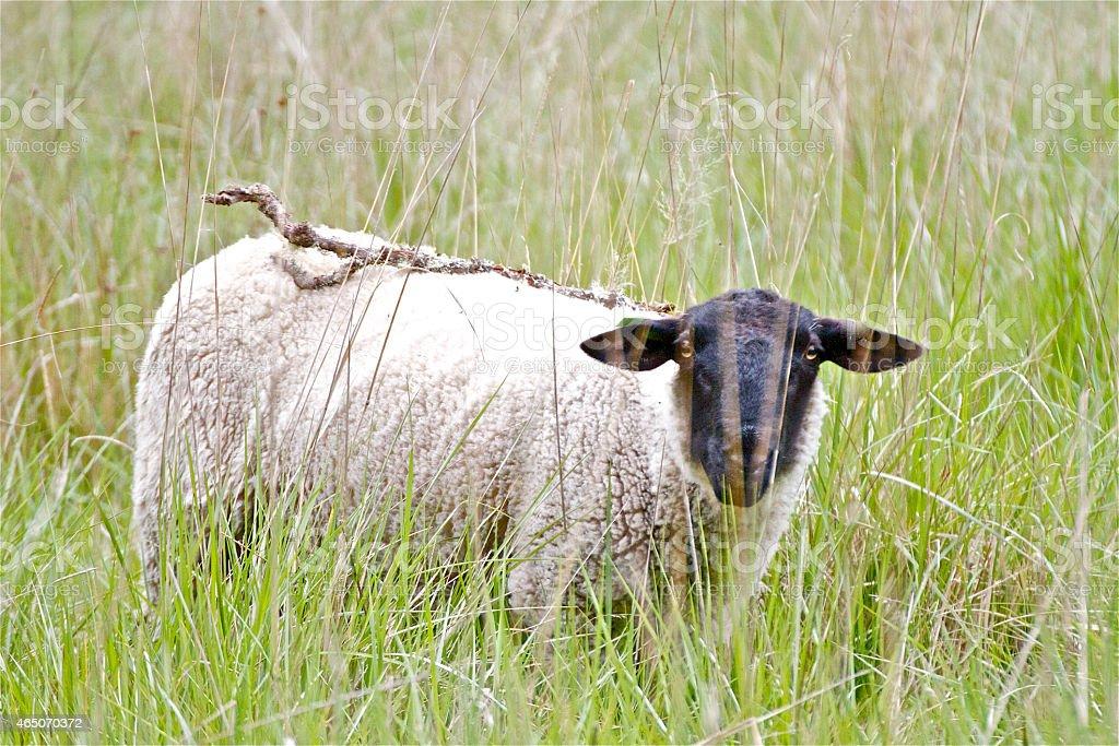 Sheep,Lamb,goat,ram stock photo