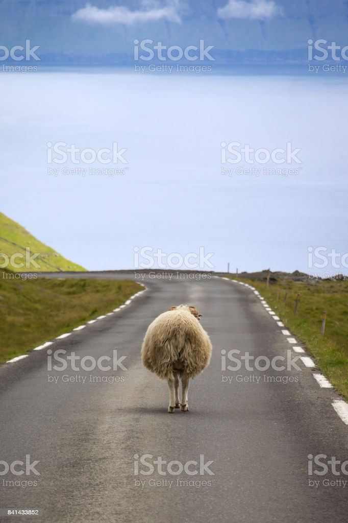 Sheeps always have priority on the Faroe Islands stock photo