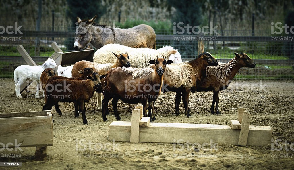 Sheeps and Goats royalty-free stock photo