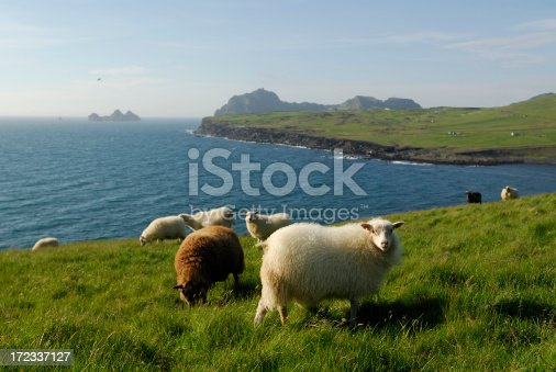 istock sheeps at Heimaey / Iceland 172337127
