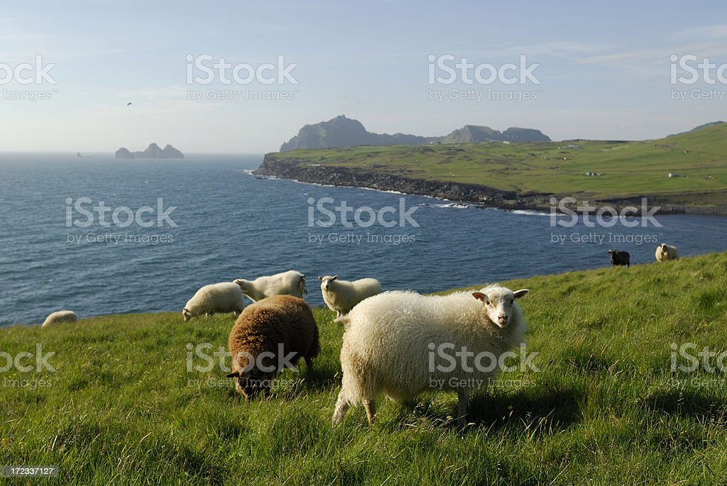 sheeps at Heimaey / Iceland stock photo