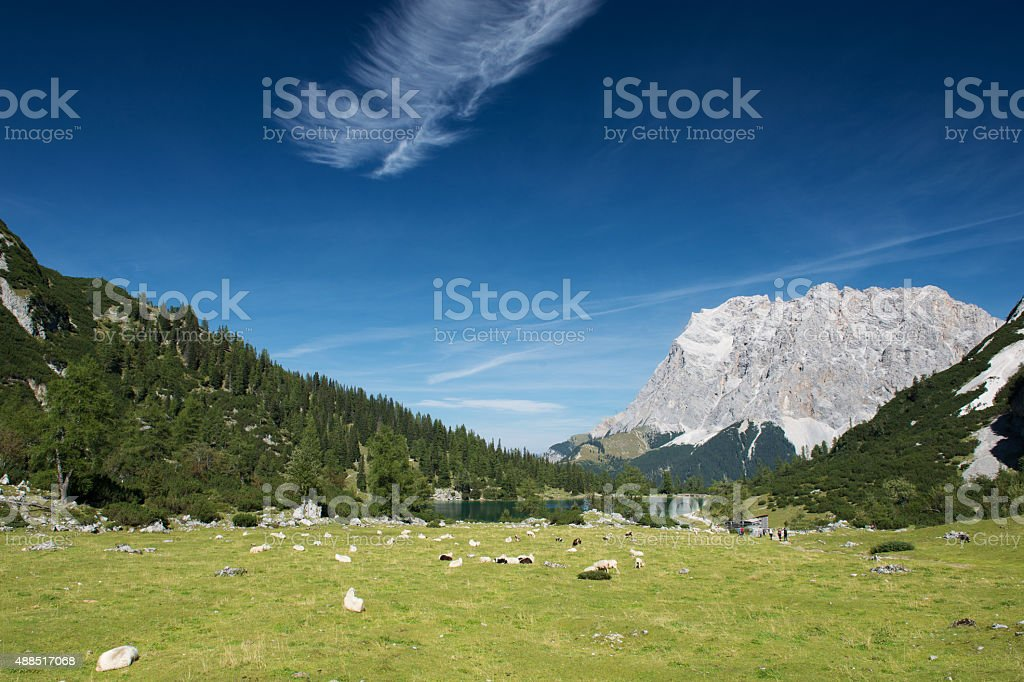 sheeps at mountain meadow with lake seebensee in tyrol stock photo