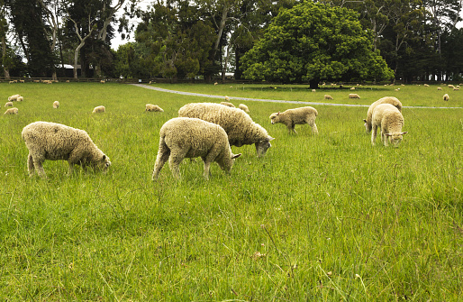 Sheeps at One Tree Hill Farm Auckland New Zealand