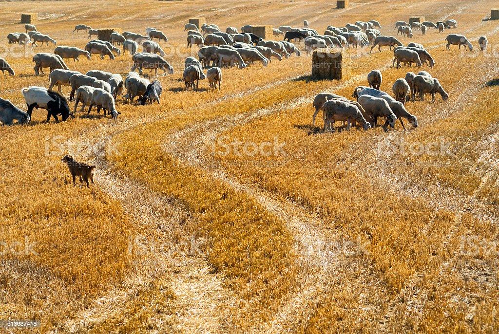 Sheeps at pasture in Aragon stock photo
