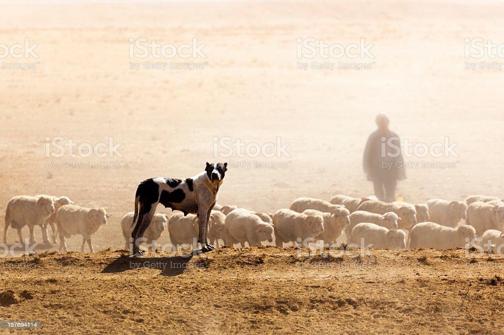 Sheeps, Dog and Shepherd stock photo