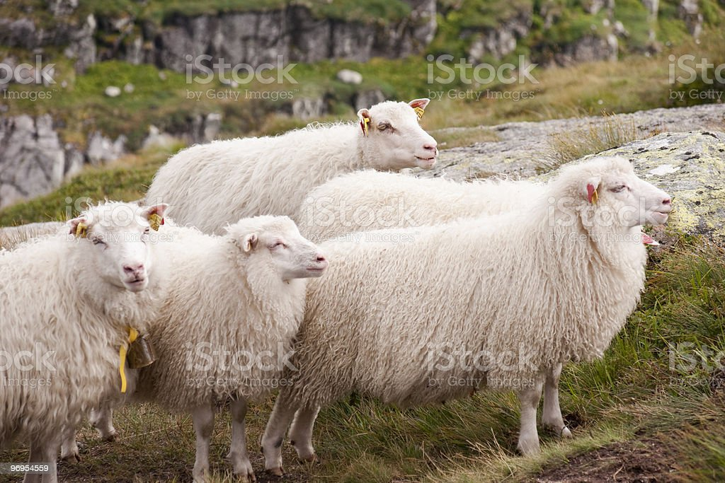 Sheep's family royalty-free stock photo