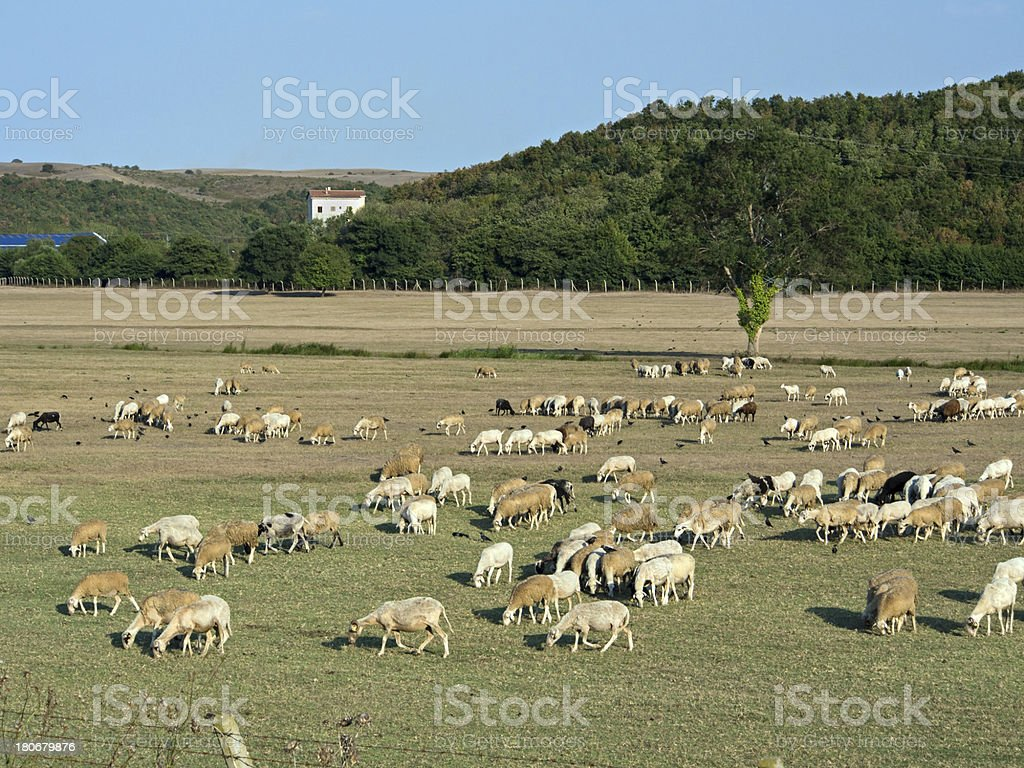 Sheeps Feasting at the Meadow royalty-free stock photo
