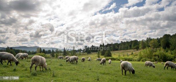 istock Sheeps feasting 108127866