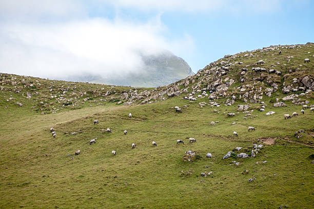 Sheeps from Basque Country stock photo