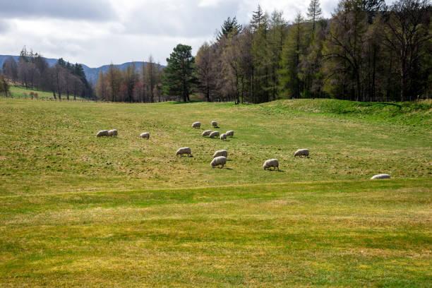 Sheeps graze in a field outside of Balmoral Castle, Aberdeenshire, Scotland stock photo
