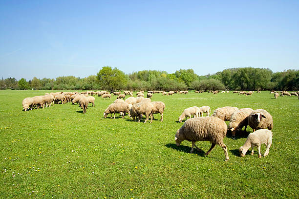 sheeps Grazing on a meadow  erlangen stock pictures, royalty-free photos & images