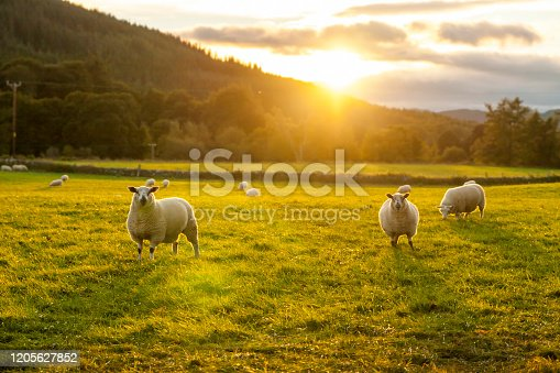 Scotland sheeps in a grass field sunset light Ewes