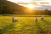 istock Sheeps in a field Highlands 1205627852