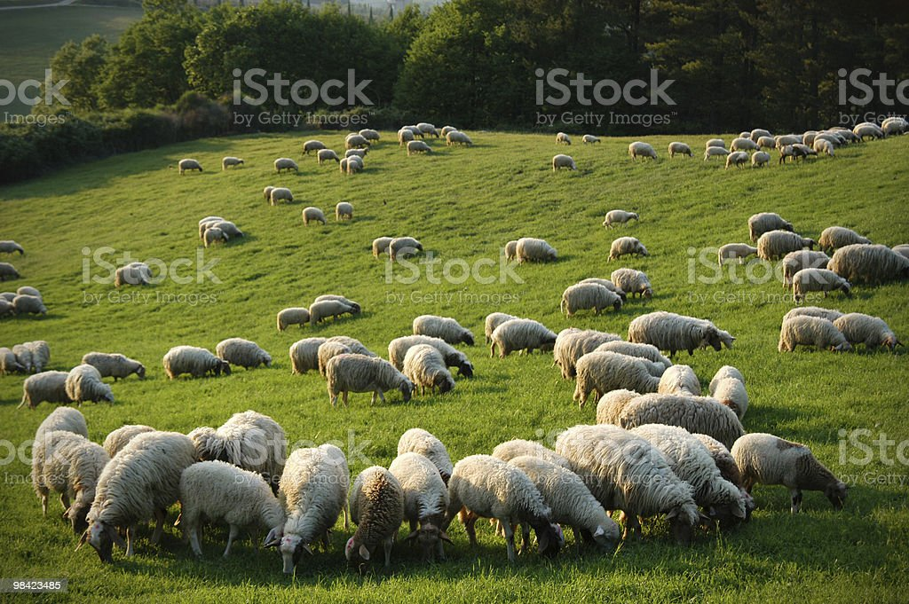 Sheeps in a green meadow royalty-free stock photo
