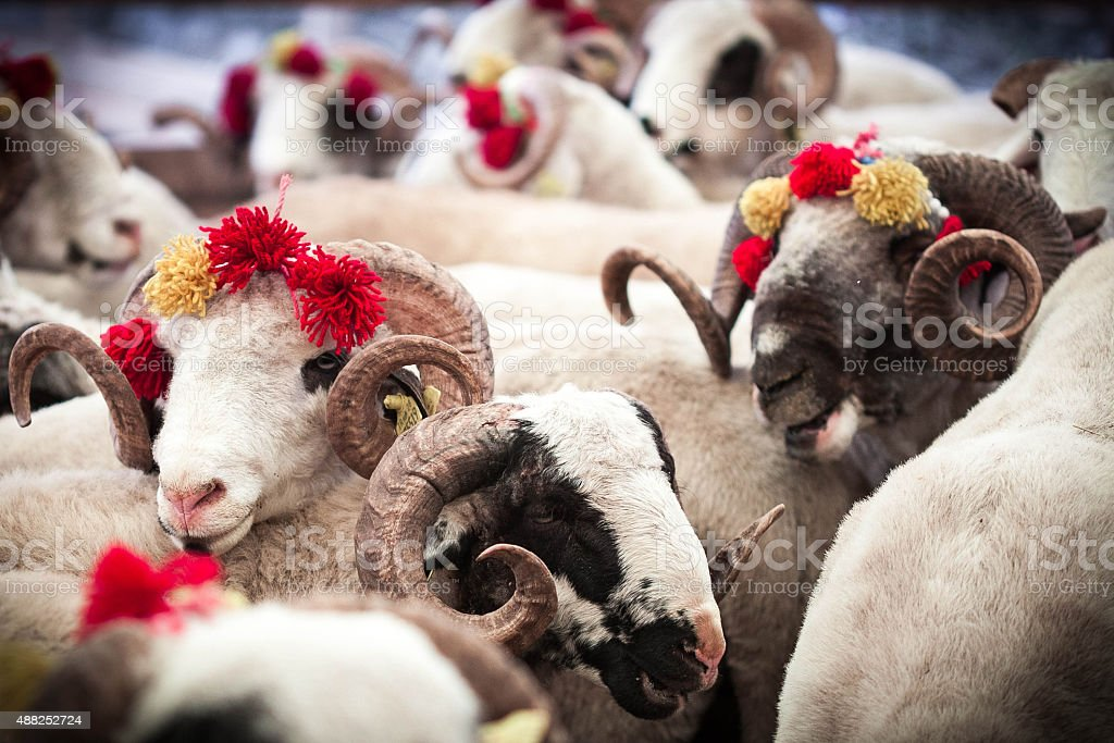 Sheeps in animal bazaar. stock photo