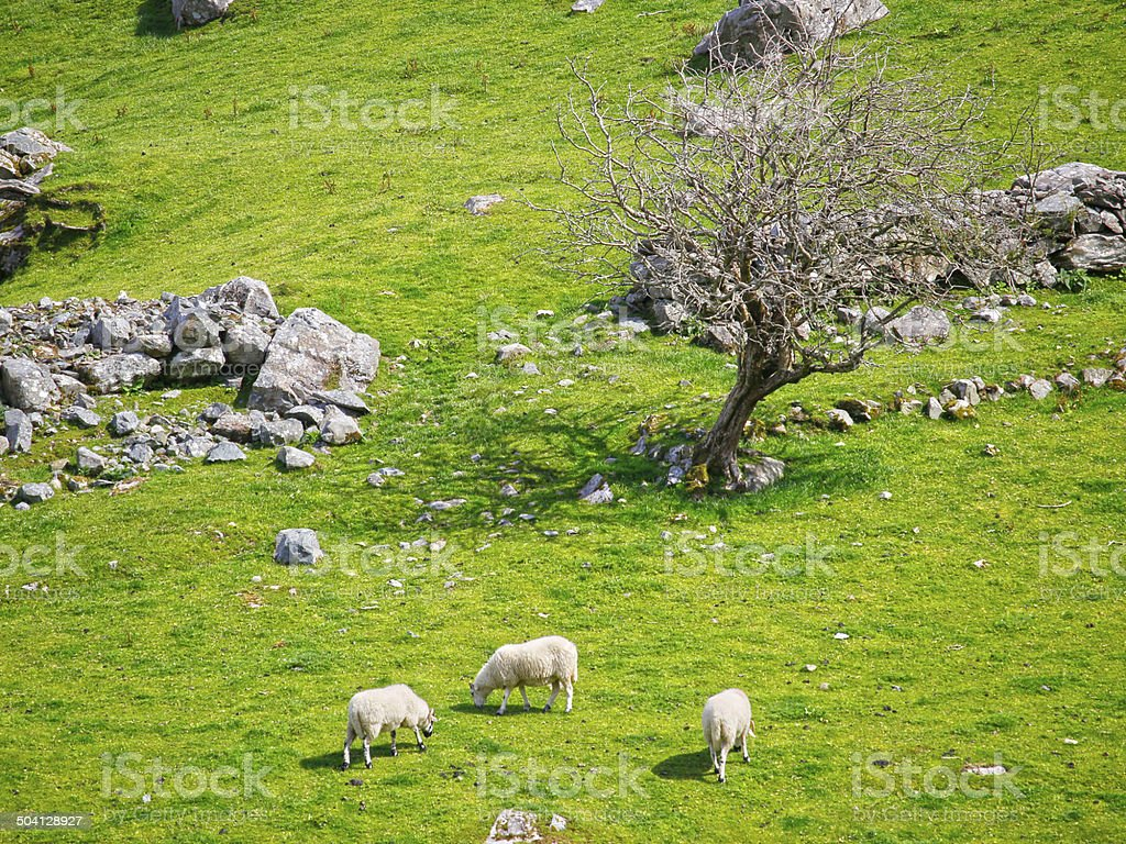 Sheeps in front of an old tree stock photo