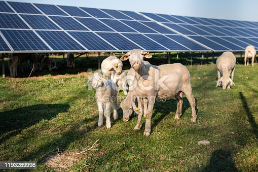 Germany: Sheep family in front of solar panels.