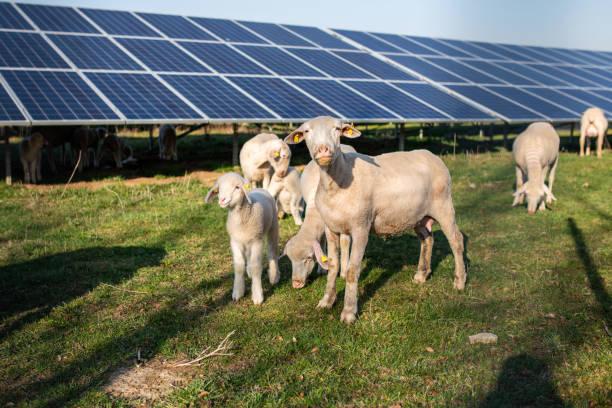 Schafe vor Sonnenkollektoren, Deutschland – Foto