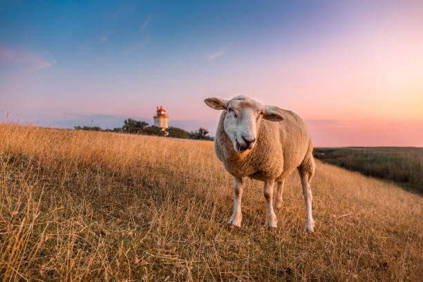 Sheeps in front of the lighthouse Westermarkelsdorf on the island Fehmarn stock photo