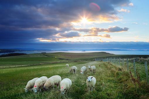 istock Sheeps in Ireland at sunset - Causeway Coastline, Country Antrim 1167899908